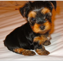 816x736px Cute Miniature Yorkie Puppy Picture in Small Puppies