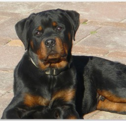 816x547px Cute Rottweiler Puppies For Sale Photo Gallery Picture in Puppies