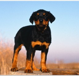 816x616px Cute Rottweiler Puppy For Sale Picture in Small Puppies