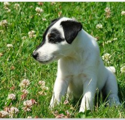 816x534px Cute Smooth Fox Terrier Picture Collection Picture in Dog