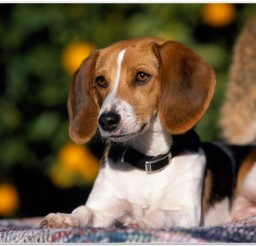 816x616px Cute Walker Hound Beagle Mix Picture in Dog