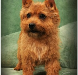 816x1042px Cute Yorkshire Terrier Picture Collection1 Picture in Dog