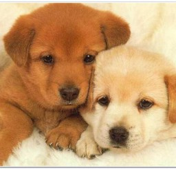 816x466px Cute Zuzu Pets Babies Picture in Dog