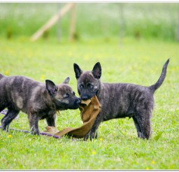 816x548px Dutch Shepherd Puppies For Sale Picture Collection Picture in Puppies