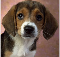816x815px English Beagle Puppies Picture in Puppies