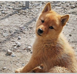 816x551px Finnish Spitz Dog Breed Picture in Dog