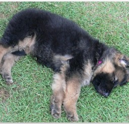 816x615px German Shepherd Pedigree Picture Collection Picture in Dog