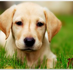 816x516px Golden Retriever Puppy Picture Gallery Picture in Small Puppies