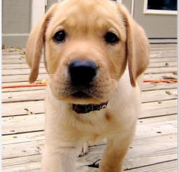 816x934px Golden Retriver Image Collection Picture in Dog