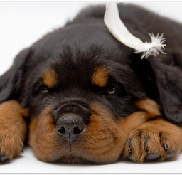 816x616px Gorgeous Dog Rottweiler Puppies Picture in Puppies
