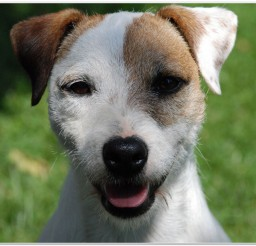 816x616px Jack Russell Mix Puppies For Sale Picture in Puppies