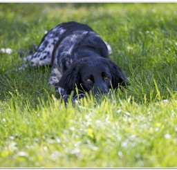 816x550px Large Munsterlander Photo Picture in Dog