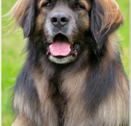 816x1217px Leonberger Dog Breeders Picture in Dog
