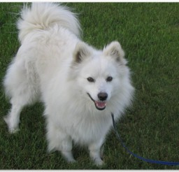 816x616px Lovely American Eskimo Puppies Photo Collection Picture in Puppies