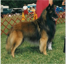 816x798px Lovely Belgian Tervurens Picture in Dog