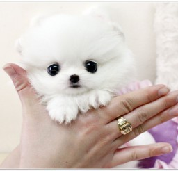 816x587px Lovely Buy A Teacup Dog Picture in Dog