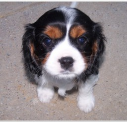 816x616px Lovely Cavalier King Charles Spaniël Picture Collection Picture in Dog