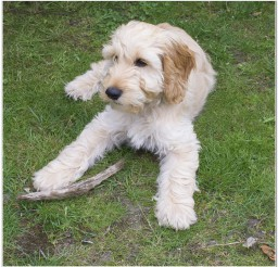816x795px Lovely Cockapoo Puppy Photo Collection Picture in Small Puppies