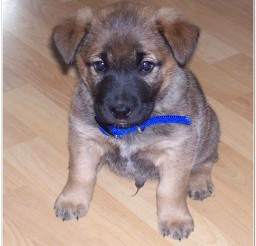 816x836px Lovely Lab Shepherd Mix Puppies Photo Collection Picture in Puppies