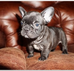 816x547px Lovely Mini French Bulldog Puppies Picture Collection Picture in Puppies