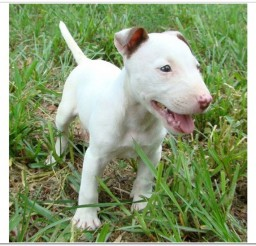 816x549px Lovely Miniature Bull Terrier Puppies Photo Collection Picture in Puppies