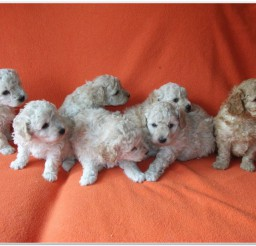 816x616px Lovely Miniature Poodle Puppies Photo Collection Picture in Puppies