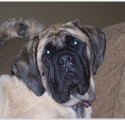 816x616px Lovely Old English Mastiff Puppies Photo Collection Picture in Puppies
