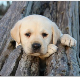 816x639px Lovely Pictures Of Lab Puppies Image Collection Picture in Puppies