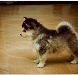 816x547px Lovely Pomsky Dog Breed Picture in Dog