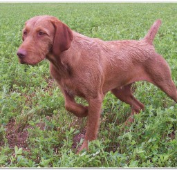 816x550px Lovely Wirehaired Vizsla Price Picture in Dog