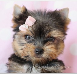816x550px Lovely Yorkie Puppies Photo Collection Picture in Puppies