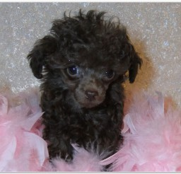 816x616px Loving Poodles Teacup Picture in Dog