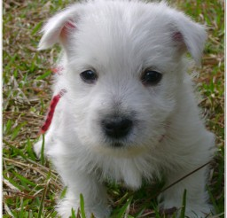 816x1082px Maltese Image Collection1 Picture in Dog
