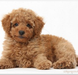 816x543px Cute Red Toy Poodle Puppy Picture in Puppies