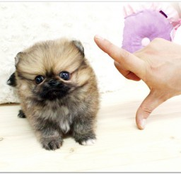 816x587px Micro Teacup Puppies Image Collection Picture in Puppies