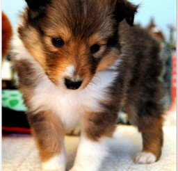 816x1139px Miniature Sheltie Picture in Dog