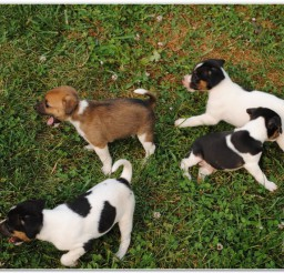 816x552px Mountain Feist Breeders Picture in Dog