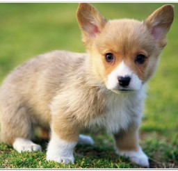 816x516px Pembroke Welsh Corgi Puppies Photo Collection Picture in Puppies