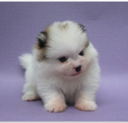 816x616px Pomeranian Puppies Image Collection2 Picture in Puppies