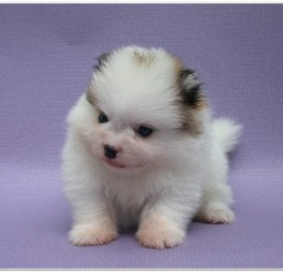 816x616px Pomeranian Puppies Picture Collection5 Picture in Puppies