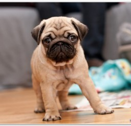 816x466px Pug Puppy Image Collection Picture in Small Puppies