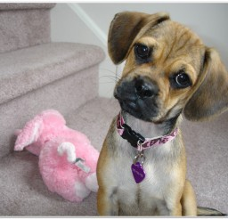 816x616px Puggle Puppy Picture in Small Puppies