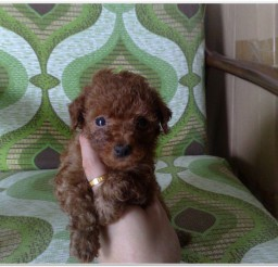 816x616px Red Poodle Puppies Image Gallery Picture in Puppies