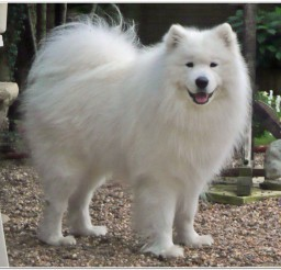 816x751px Samoyed Puppies Breeders Picture in Puppies