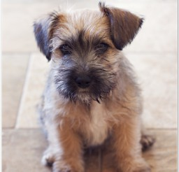 816x1224px Schnauzer Puppies Image Gallery Picture in Puppies