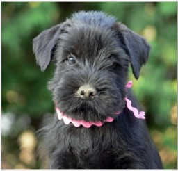 816x779px Schnauzer Puppies Picture Collection Picture in Puppies
