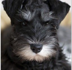 816x1137px Schnauzer Puppies Picture Collection1 Picture in Puppies