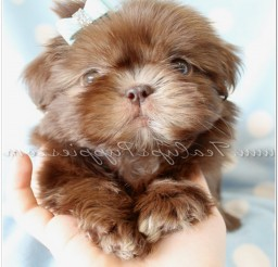 816x994px Shih Tzu Dog Photo Gallery Picture in Dog