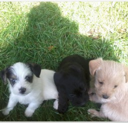 816x616px Shih Tzu Puppies For Sale Picture Album Picture in Puppies