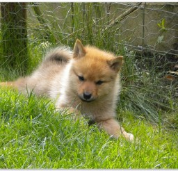 816x616px White Finnish Spitz Picture in Dog